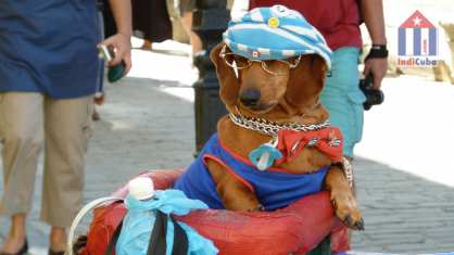 Dressed dog in Old Havana - street life and tourism